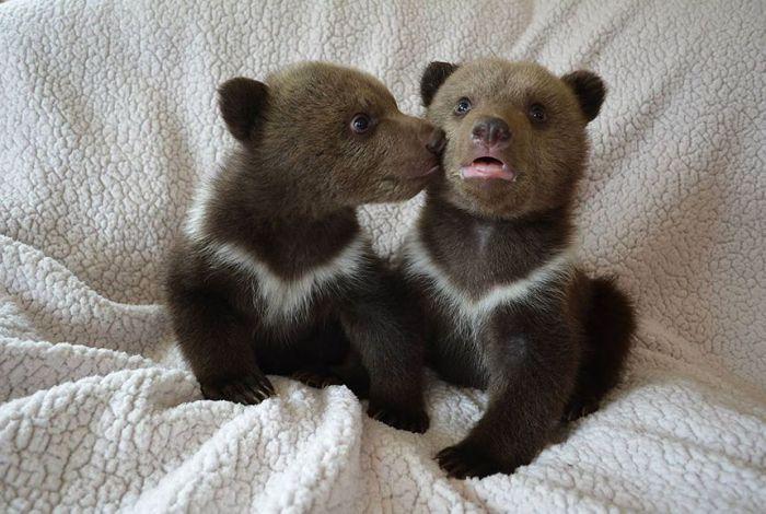 Медвежата целуются.
