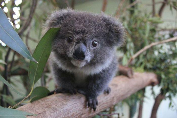 Маленькая домашняя коала.