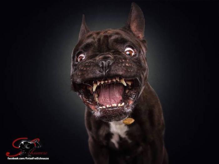 Даже небольших размеров собаки, которые не очень ловкие в тренировке, могут показать себя циркачами в ловле еды.