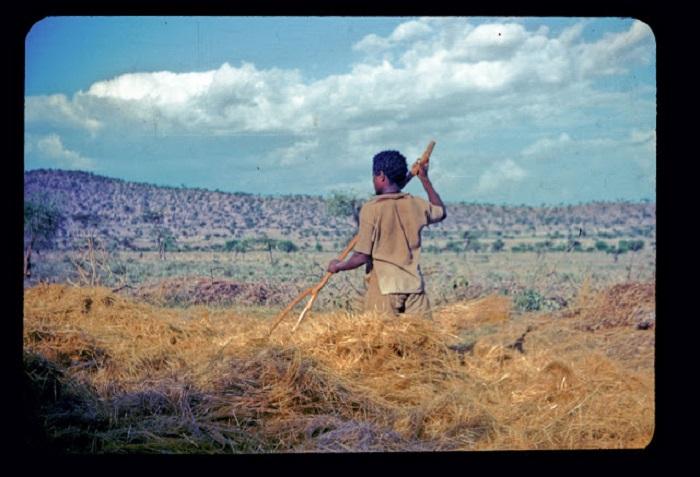 Молодой парень с помощью палки-рогатки собирает сено для крупно-рогатого скота.