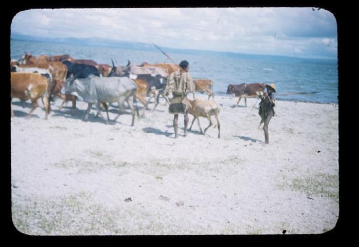 По берегу реки проходит стадо рогатого скота и пастухи.