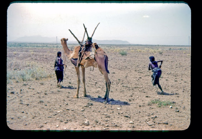 Двугорбый верблюд с поклажей на горбу и хозяином.