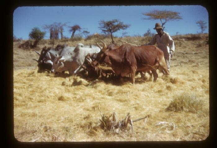 Мужчина-погонщик ведет стадо буйволов на пастбище.