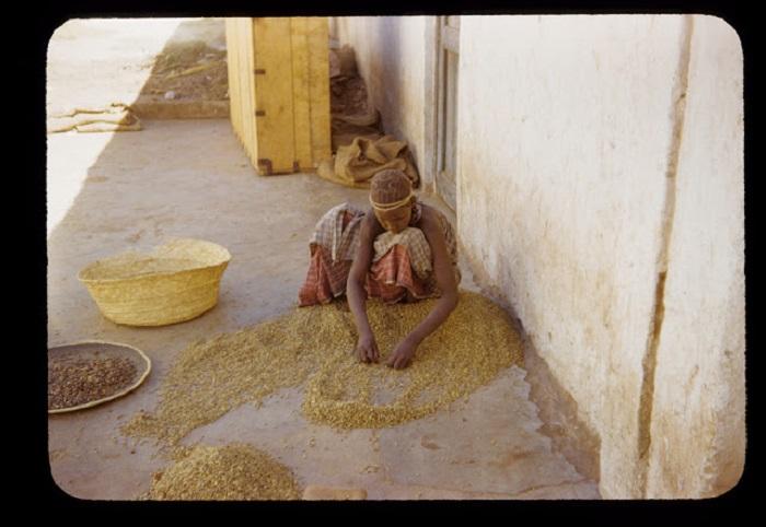 Девушка из племени хамер занята разборкой круп.