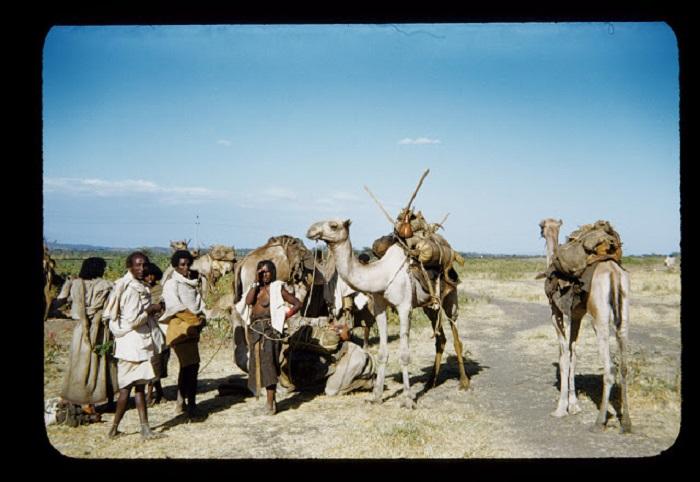 Один из многочисленных способов перемещения народов Африки -это верблюды, ослы, лошади.