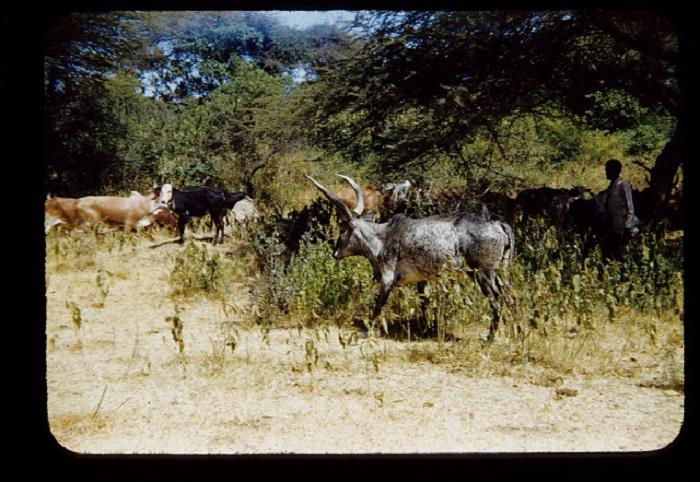 Чабан ведет на выгул стадо буйволов.