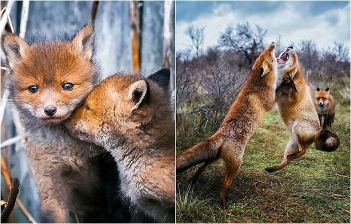 Увлекательные снимки диких лис.
