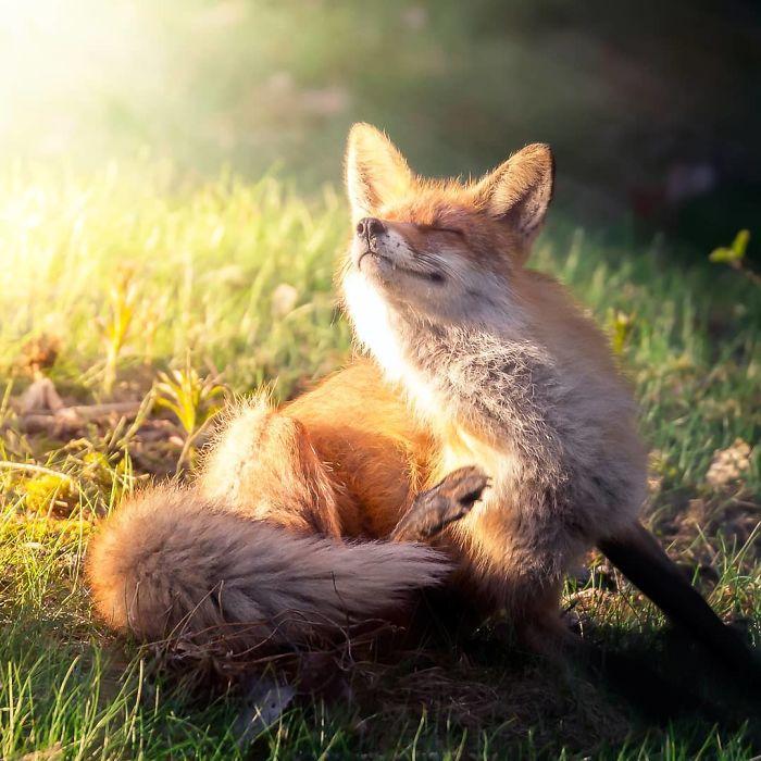 Лисы греются целый день на солнце, а после заката отправляются на охоту.