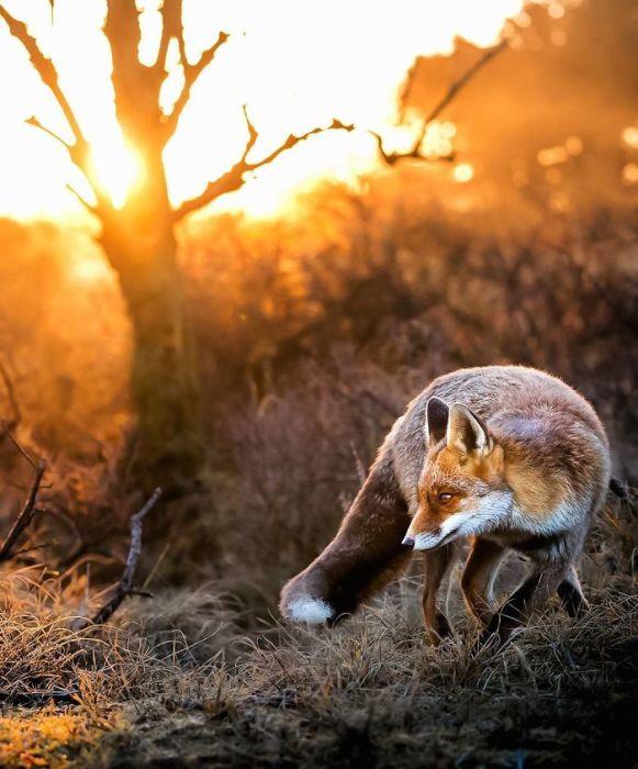 Фотографии Осси Сааринена заставляют людей чувствовать, что лисы живут в красивых сказках.
