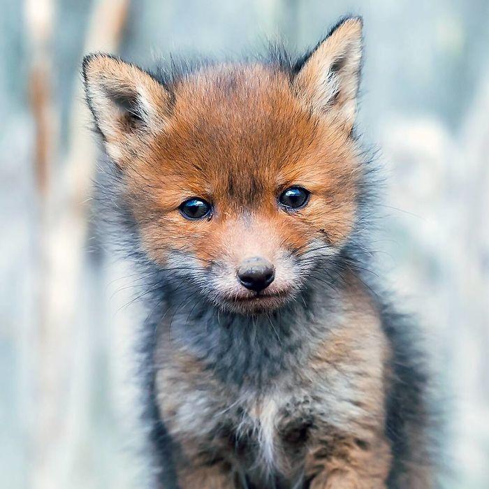 Увлекательный портрет детеныша лис от талантливого 20-летнего фотографа дикой природы.