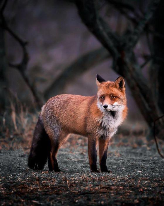 Работы Осси заставляют влюбиться в этих прекрасных хищных животных.