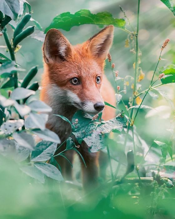 Лисица – настолько умное животное, что ради выживания готово приспособиться даже к человеку.