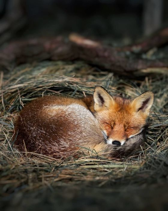 Милая лисичка, отдыхающая на свежем воздухе.