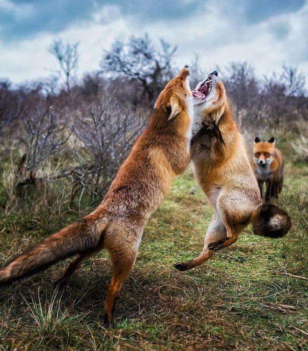 Красивый снимок лис в борьбе за самку.