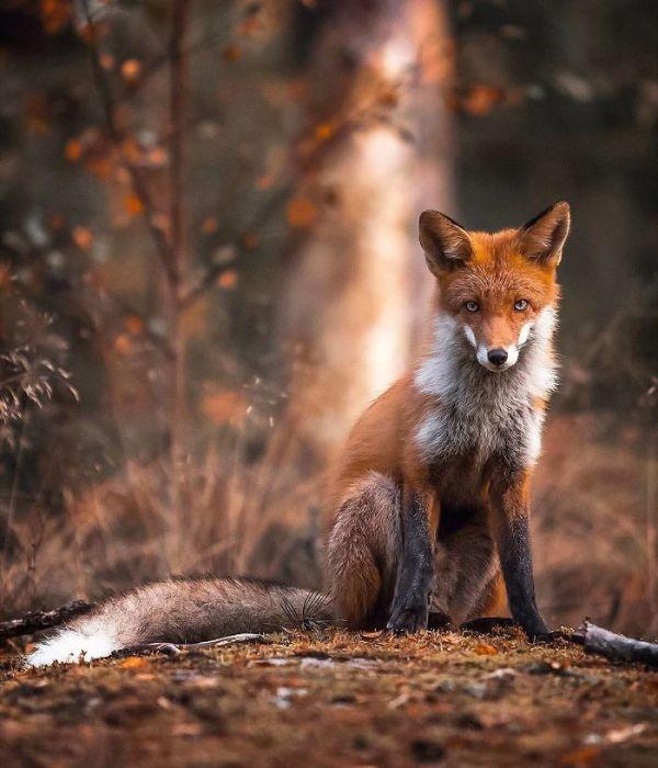 Очаровательная лисица, позирующая перед фотокамерой.