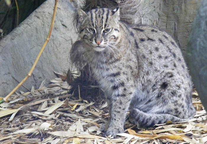Удивительная экзотическая кошка.