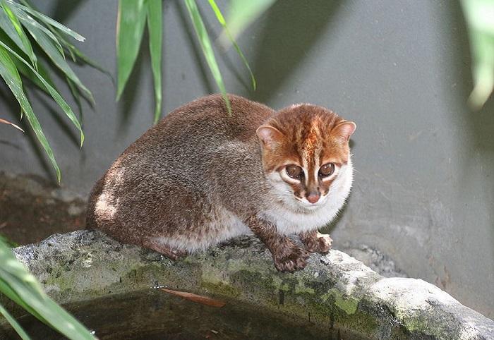 Млекопитающее из рода восточных кошек.