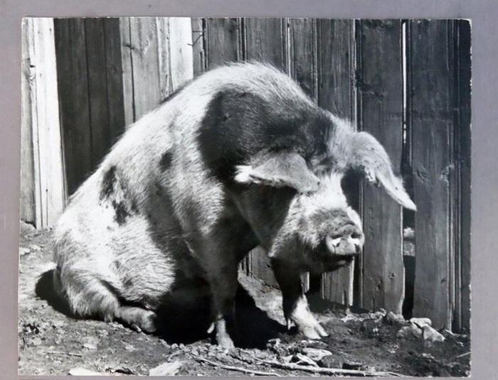 Свиньи – одни из самых распространенных домашних животных, которые встречались во многих дворах в разных уголках бывшего СССР.