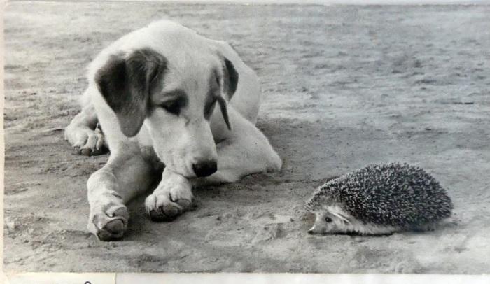 Встреча собаки-дворняги и колючего ежика посреди широкого деревенского двора.