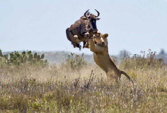 Двухметровый прыжок антилопы гну спас её от смерти.