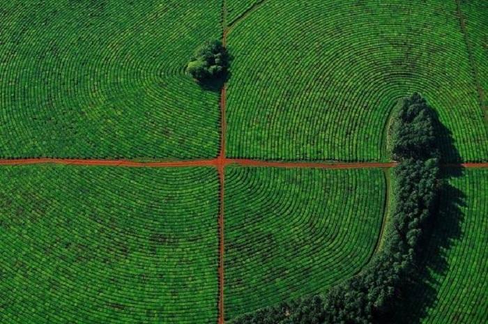 Плавно изогнутые ряды чайной плантации в провинции Корриентес, Аргентина.