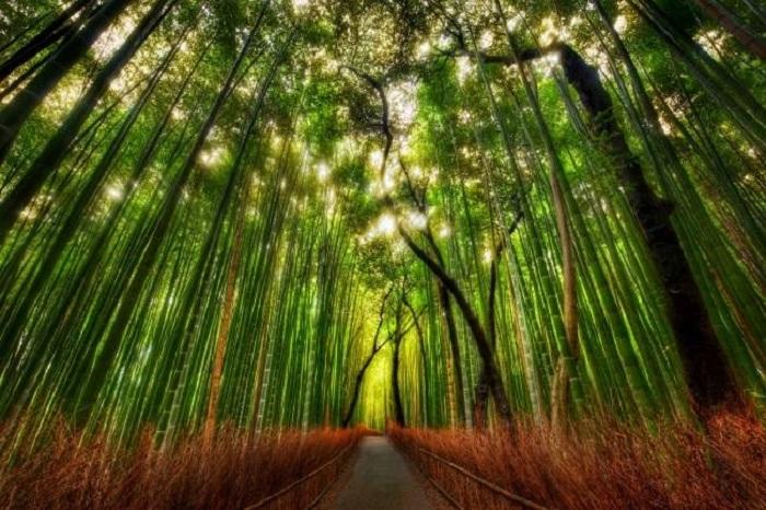 Таинственный бамбуковый лес.