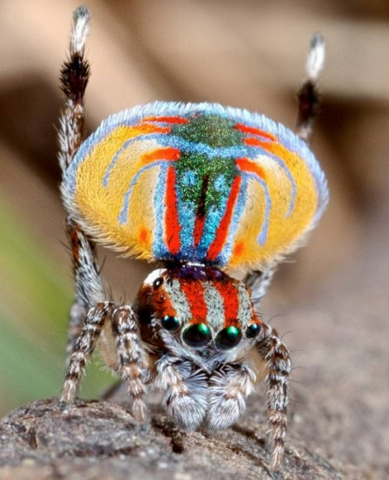 Один из самых красивых пауков на планете.