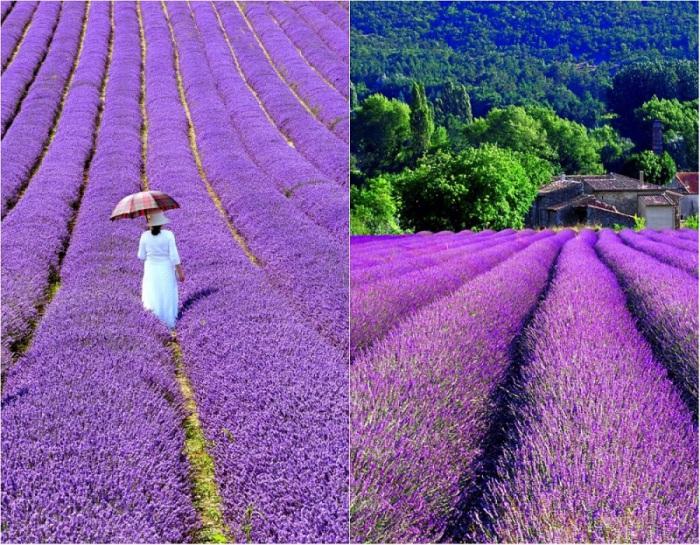 Поля цветущей лаванды украшают ландшафты Прованса чарующими переливами оттенков - от дымчато-лилового до иссине-фиолетового.
