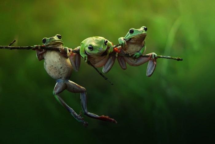 «История лягушек».