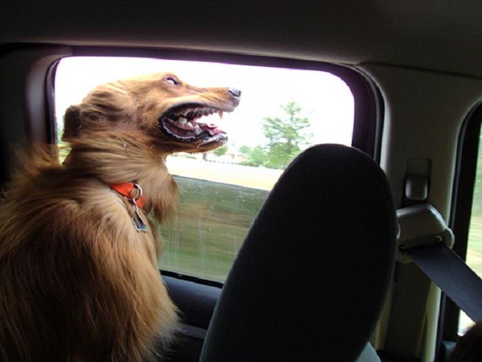 30 смешных собак, которые обожают поездки на автомобиле