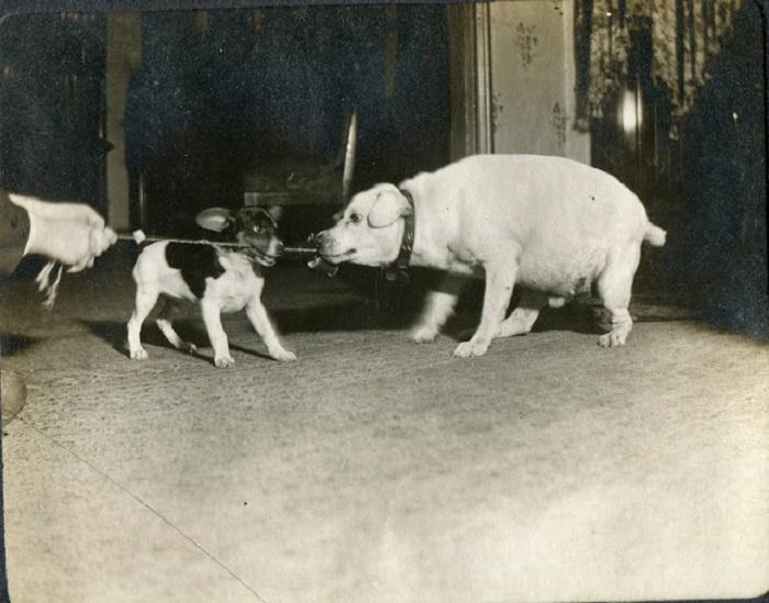 Перетягивания каната собаками.