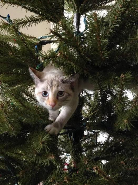 Кот взобрался на еще не украшенную елку, чтобы проверить как тут обстановка.