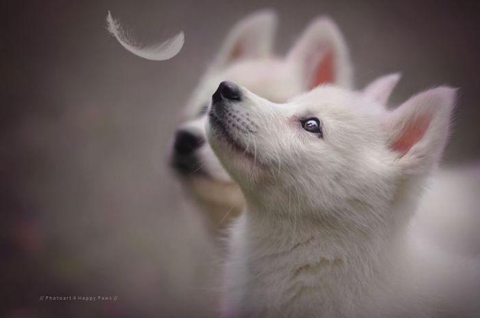 Беленькие озорные щенки.