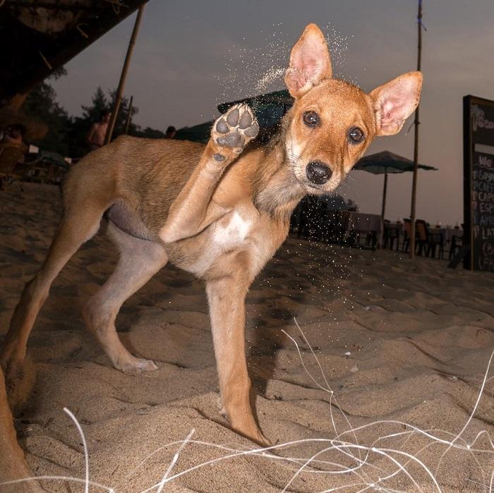 Худые и бездомные, но совершенно свободные, собаки на пляжах Гоа ежедневно сражаются за выживание.