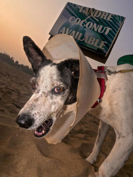 Собаки, которых скандальный уличный фотограф снимал на пляжах Гоа, выглядят агрессивными и дикими.