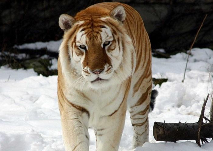 Самое необычное явление среди тигров.
