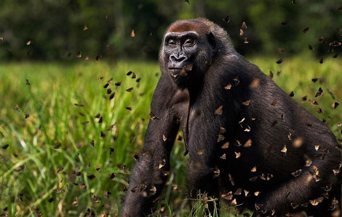 Гигантская западная равнинная горилла Малуи играет с бабочками.