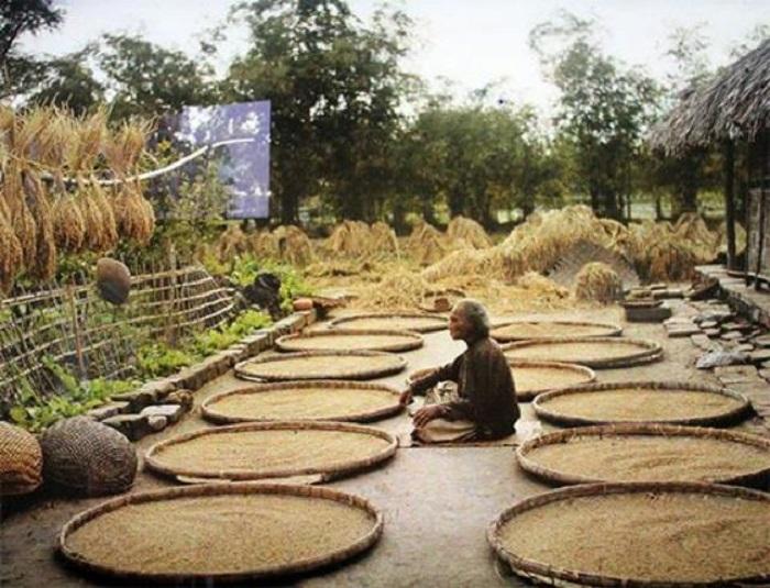 Фермер следит за просушиванием риса. Вьетнам, пригород Ханоя, 1910-е годы.
