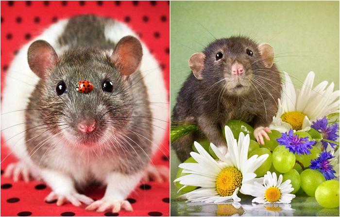 Забавные крысы, которые разрушают негативные стереотипы.
