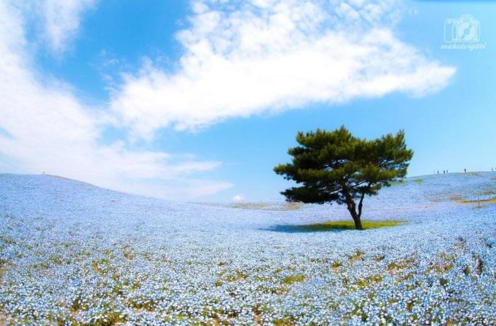 Парк известен благодаря миллионам синих Немофил, распускающихся в начале мая.