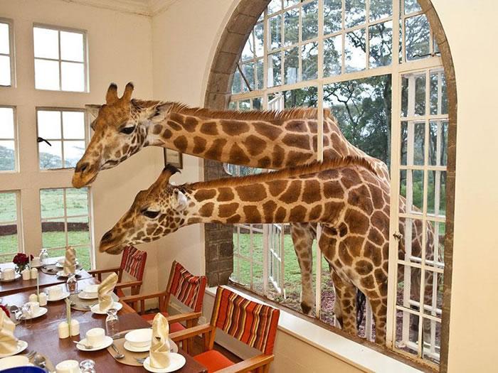 Отель Giraffe Manor – единственный отель в мире, где туристы завтракают с жирафами.