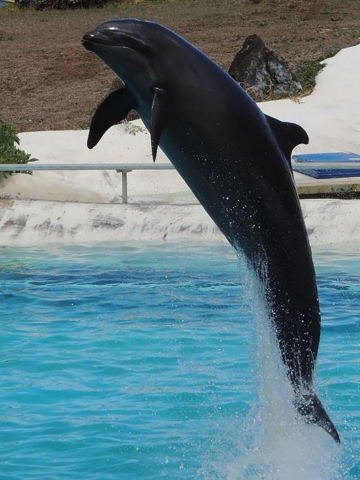Гибрид самки дельфина из рода Афалины с самцом малой чёрной косатки.