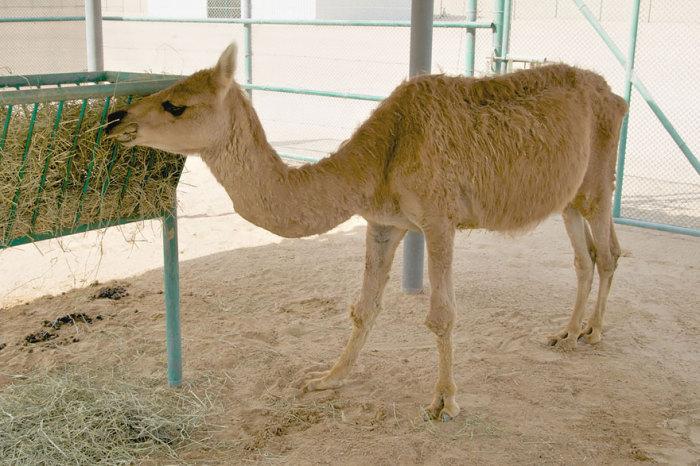 Результат скрещивания самца одногорбого верблюда с самкой ламы путём искусственного оплодотворения.