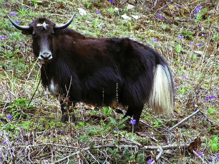 Гибрид домашней коровы и яка.
