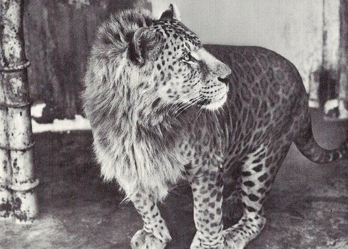 Гибрид самца-леопарда с львицей-самкой.