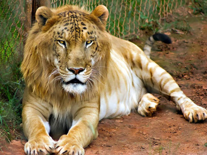 Гибрид тигра-самца и львицы-самки.