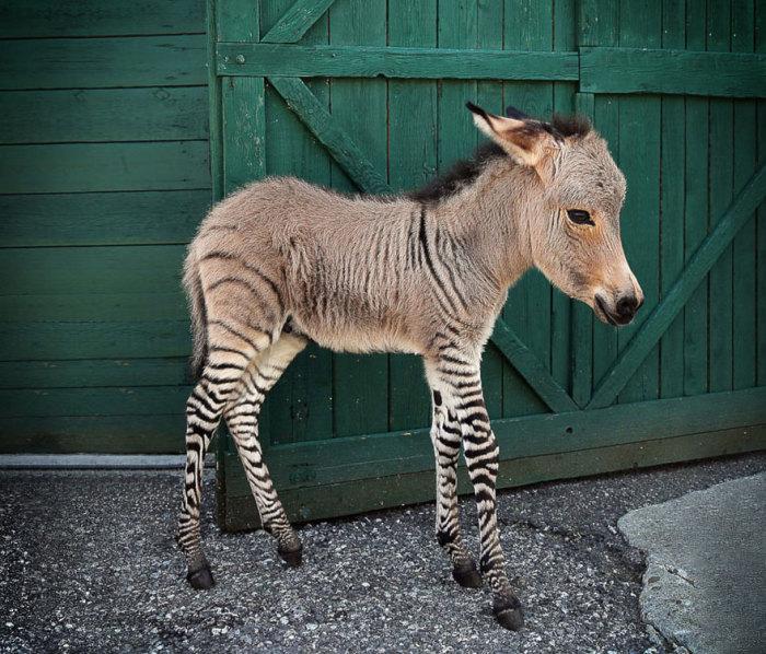 Гибрид зебры с ослом.