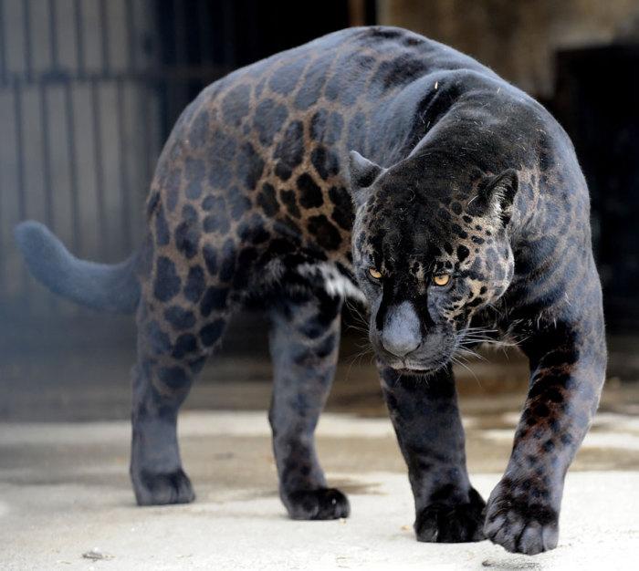 Гибрид самца ягуара и львицы.