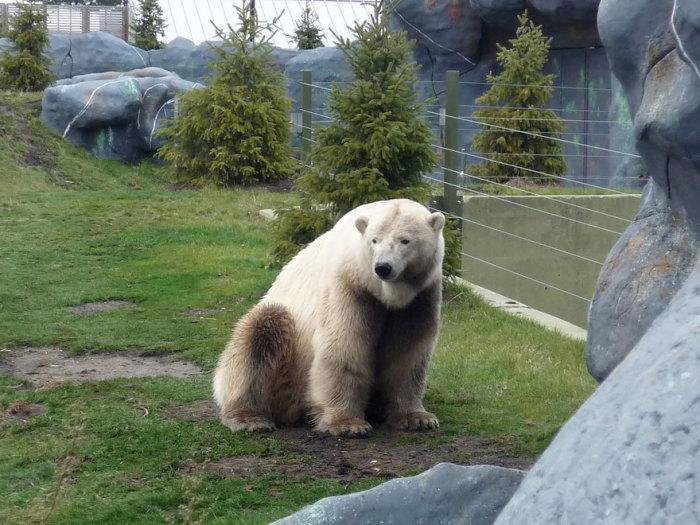 Гибрид белого и бурого медведя.