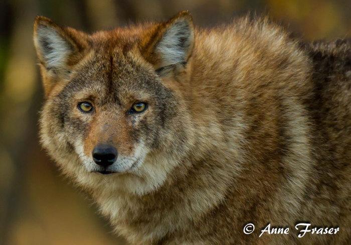Устойчивый природный гибрид койота и любого из других североамериканских видов волков - серый волк, рыжий волк или восточный волк. Встречается на Северо-востоке США и Юго-Восточной Канаде. Внешне схож с крупным койотом или с рыжим волком.
